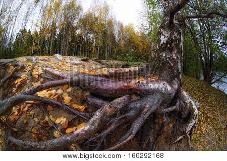 tree roots and autumn forest. Fall woods. Rich colors.