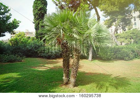 Palm tree in the botanical garden