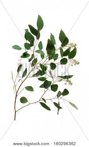 Branch of eucalyptus populus on white background