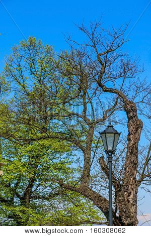 Two trees are growing next to the street light. One of the tree has young, fresh leaves whereas second did not start its vegetation.
