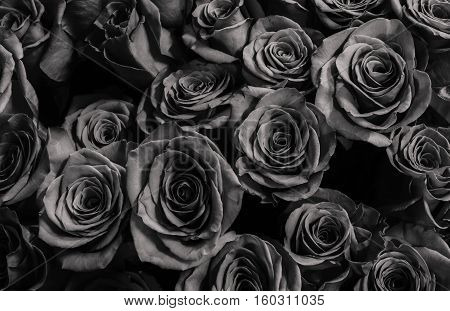 roses isolated on a black background. Greeting card with roses
