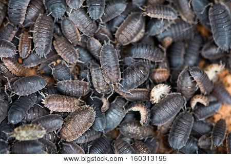 Mass of rough woodlice (Porcellio scaber). Terrestrial crustaceans in the familiy Porcellionidae exposed under bark of dead log