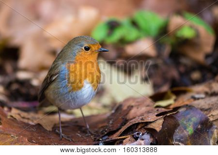 Robin (Erithacus rubecula) on ground on fallen leaves. Bird hunting for food in profile with particularly striking orange breast and fine detail in feathers