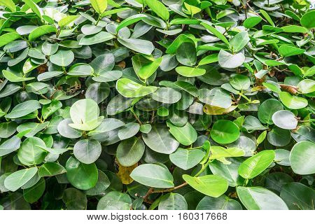 The green leafs pattern background. Nature wallpaper.