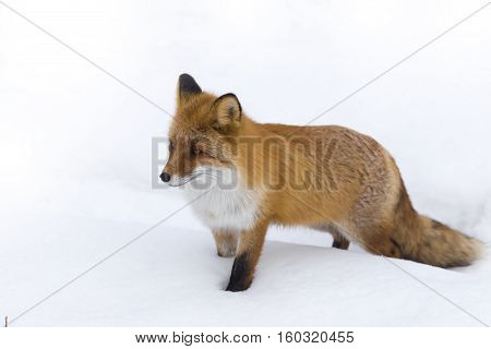 fluffy Red Fox on white snow winter