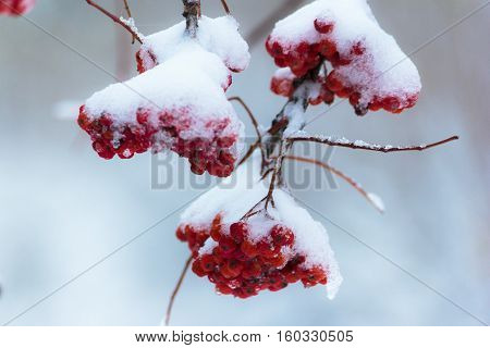 Winter, the first snow, a branch red berries of mountain ash, outdoors
