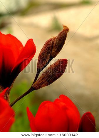 Tulip Red Fragrant
