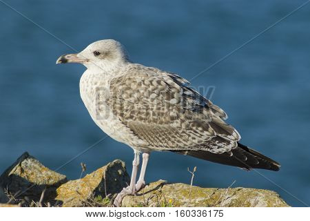 Lesser black-backed gull ( Larus fuscus ) in flight off the coast of Peniche Portugal.