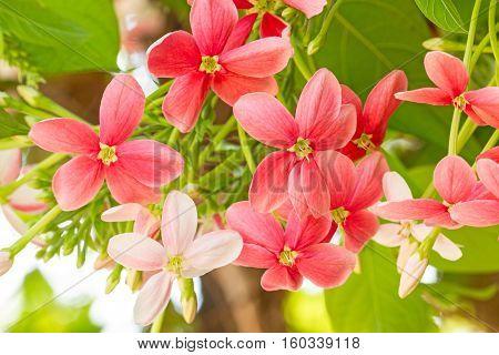 Colorful flower Drunen sailor Rangoon creeperQuisqualis Indica flower plant Chinese honeysuckle Rangoon Creeper Combretum indicum(Quisqualis indica L.)