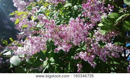 Blooming lilac bushes in bright sunlight in summer