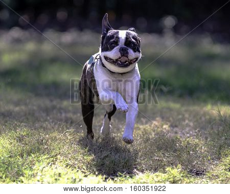 Greying Boston Terrier runs playfully toward the camera