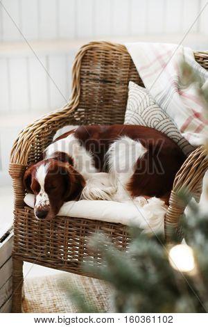 Lovely dog lying on the armchair
