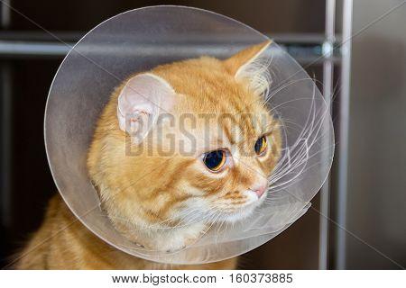 Head of red cat wearing a transparent plastic Elizabethan collar closeup