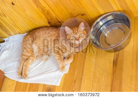 Lying on a wooden floor red cat during treatment of injuries wearing a Elizabethan collar