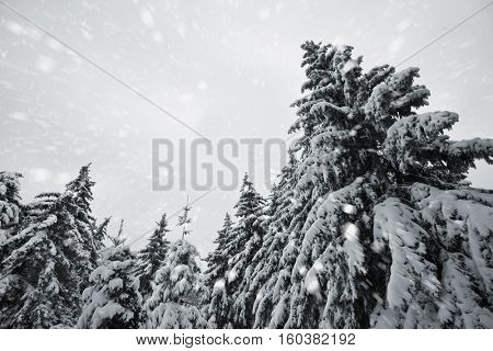 Beautiful snowy weather and winter park wint trees covered by snow