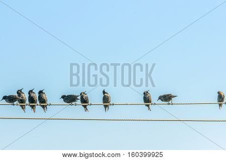 Starlings on electric wires. This photo was taken in a park, near Kiev.