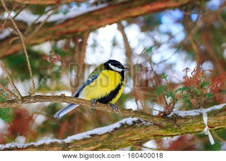 Great tit sits on branch in winter forest