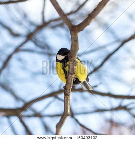 Great tit sits on branch in winter forest bottom view