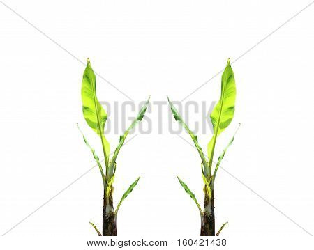 young double Banana trees on a white background.