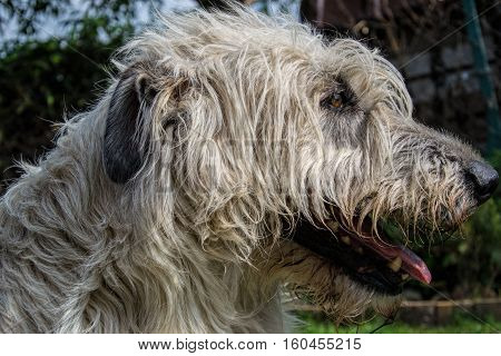 Portrait of beautiful white Irish wolfhound dog posing in the garden. Close up of happy dog