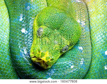 Close up of a coiled green snake showing details on the face