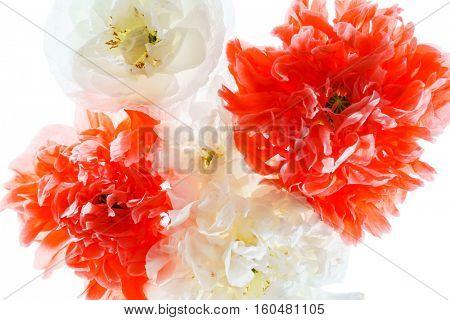 double poppy flower isolated