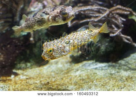 Striped burrfish (Chilomycterus schoepfi), also known as the spiny boxfish, and longspined porcupinefish (Diodon holocanthus), also known as the freckled porcupinefish.