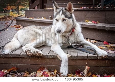sled husky dog with blue eyes sit on balcony in Quebec country Canada