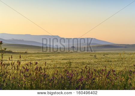 SPRINGTIME.Between Apulia and Basilicata.Hilly landscape with corn field immature at dawn.ITALY. In the background farmhouses and farms..