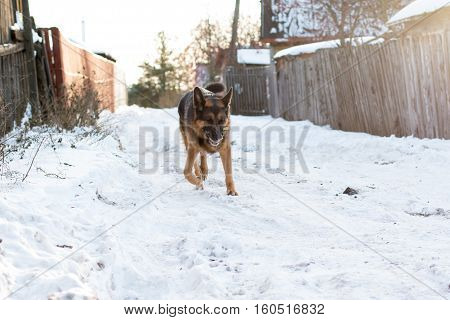Dog German Shepherd In A Village In A Winter