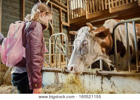 Cow in a stable eating hay, school girl with a backpack looking