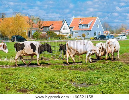 Cows on a sunny field with green grass  near a village