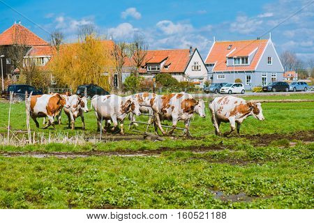 Happy cows jumping after being released into an open field in the Netherlands, Europe