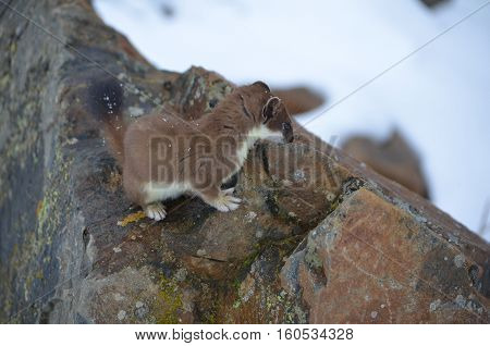 A Curious Ermine On Top Of The Mountain Pass.