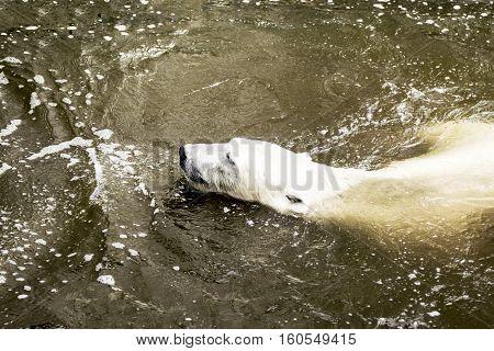 Male polar bear swimming in water. Ursus maritimus. Wild arctic animal