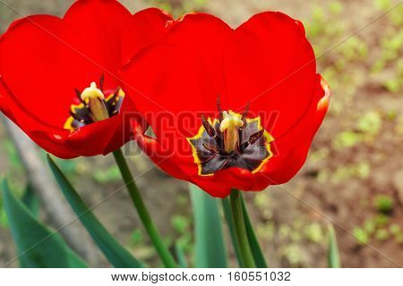 Tulip Flower Close-up, Blurred, Tulip Floral Spring Background. Easter Spring Flowers
