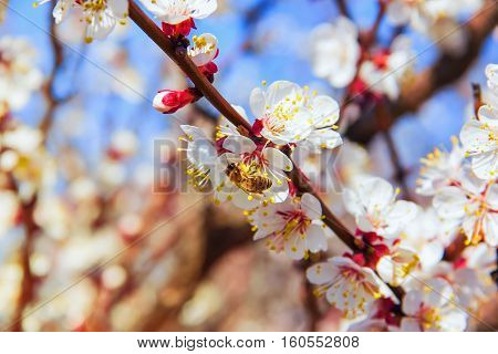 Bees Pollinate Young Tree Flowers In The Garden, Bee Collects Po