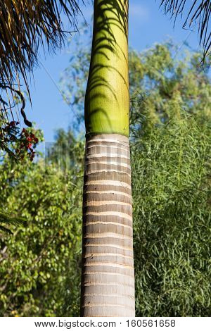 palm tree trunk in tropical garden on Fuerteventura. Canary Island. Spain