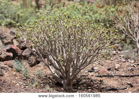 bush of Euphorbia balsamifera tabaiba dulce native to Canary Islands