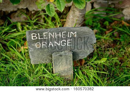 A slate and chalk sign for Blenheim Orange apples growing on tree.