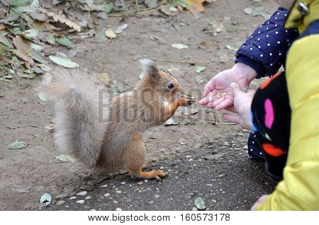 Forest squirrel eats nuts from the children's hands.