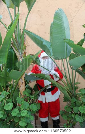 Santa Claus hides behind Bird of Paradise Leaves to try to stay camouflaged. Santa Hides behind a plant.