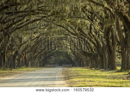 Dramatic avenue of oaks with spanish moss in American deep South