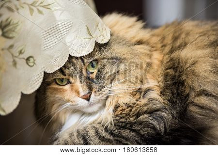Portrait of tabby calico maine coon cat hiding under tablecloth