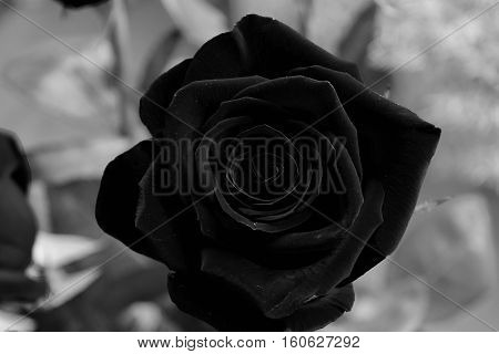 beautiful black rose with gray background foto