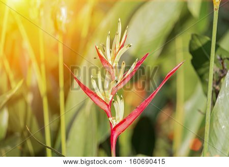 bird of paradise Beautiful red flower ( Strelitzia Reginae Madeira island ) with sunset light tone.