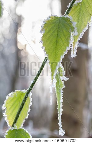 Frozen leaves covered with hoarfrost of winter morning