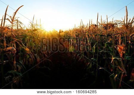 Corn Stalk in field of crops growing green and ready for harvest
