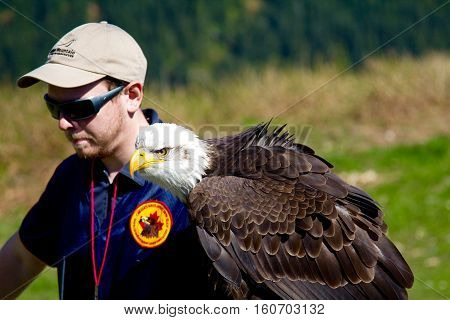 VANCOUVER CANADA - JUNE 12 2010: A handler with a trained Bald Eagle on Grouse Mountain