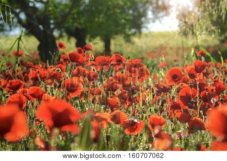 SPRINGTIME.Between Apulia and Basilicata. Backlit poppies in a field with trees. Italy.